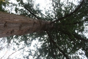 "Picture of a tree to illustrate ""The Threadbare Magician"""