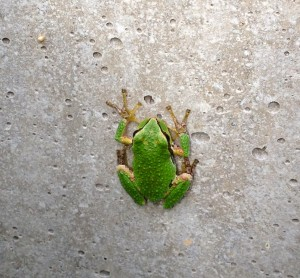 Picture of an American tree frog on a concrete wall.
