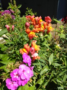Picture of pink phlox and orange snapdragons.