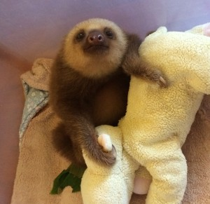 Image of a baby two-toed sloth, taken at the Sloth Sanctuary in Costa Rica.