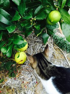 Photograph of a cat and lemons.