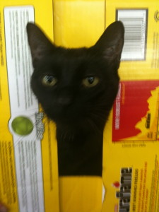 Picture of a cat named Raven looking out of a box.
